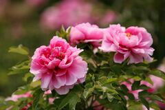 Free Pink Luoyang Peony Flowers Royalty Free Stock Photos - 178940048