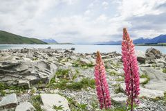Pink lupin flower at lake side in Tekapo lake in New Zealand Stock Photography