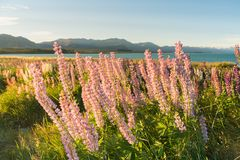 Pink lupin flower with mountain background. Natural landscape New Zealand summer season Royalty Free Stock Image