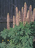 Pink Lupine. Wildflowers in bloom before old wooden wall Stock Photo