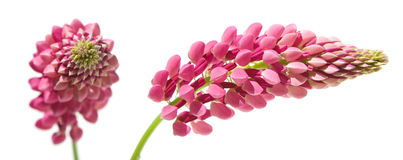 Pink lupine Royalty Free Stock Photos
