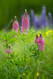 Pink lupine. Soft focus. Creative lens Stock Photos