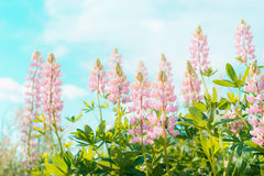 Pink lupines flowers over sky background in summer garden or park, outdoor f Stock Photography