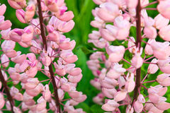 Pink lupins Royalty Free Stock Photos