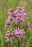 Pink lychnis flos-cuculi, wildflower Stock Image