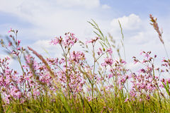 Pink lychnis flowering on the colorful meadow Stock Image