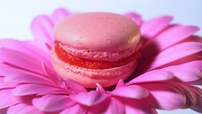 Pink macaroon - delicious and beautiful french dessert rotating on gerbera flower on blue background. Cooking, food. Baking, nature concept stock footage