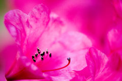 Pink macro. Japanese garden in Seattle Royalty Free Stock Photography