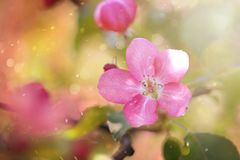 Pink macro apple-tree flower with bokeh.  royalty free stock photography