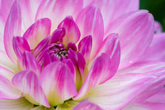 Pink macro dahlia Royalty Free Stock Photos