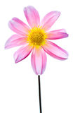 Pink macro dahlia with white and yellow Royalty Free Stock Photography