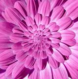 Pink magenta camomile daisy flower spiral petals abstract fractal effect pattern background. Floral spiral abstract pattern swirl. Pink magenta camomile daisy royalty free stock photography