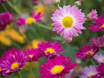 Pink and Magenta Chrysanthemum Flowers blooming stock images