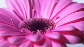 Pink magenta gerbera flower rotating on blue isolated background. Beautiful single blooming gerbera. Daisy is flower of. Asteraceae family. 4k stock footage