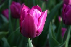Sun shines on a Magenta colored tulip in the garden stock image