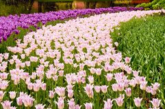 Pink and magenta tulips Stock Photo