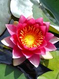 Pink magenta water lily. With yellow centre Royalty Free Stock Images