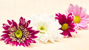 Pink, magenta and white chrysanthemums Royalty Free Stock Photo