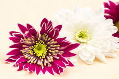 Pink, magenta and white chrysanthemums Royalty Free Stock Images