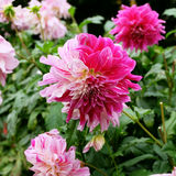A pink, magenta and white colored dahlia dalia flower in a garden with other dahlias of similar colors Royalty Free Stock Photos