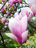 Pink magnolia Stock Photos