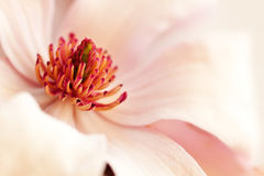 Pink magnolia background Stock Images