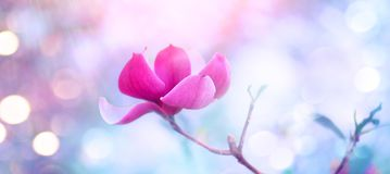 Pink Magnolia. Beautiful nature scene with blooming tree and sun flare. Spring magnolia blossom. Background royalty free stock photography