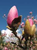 Pink magnolia in bloom royalty free stock images