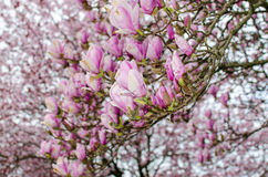 Pink magnolia bloom. Ing in spring with cherry blossoms in the background Stock Photo
