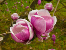 Pink magnolia bloom Stock Images