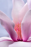 Pink Magnolia Blossom Anthers. Pink and white transition, Magnolia flower blossom, pink and yellow anthers, partial profile Stock Photos
