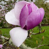 Pink magnolia blossom. Magnolia blossom on branch on deep green grassy park background Royalty Free Stock Photos