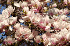 Pink magnolia blossoms Royalty Free Stock Photos