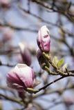 Pink magnolia blossoms Stock Photos