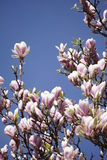 Pink magnolia blossoms Stock Image