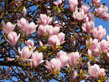 Pink Magnolia Blossoms Royalty Free Stock Photography