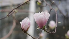 Pink magnolia blossoms on a tree in the city street, light spring breeze. Shallow depth of field stock video footage