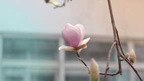 Pink magnolia blossoms on a tree with water drops. In light spring breeze. Shallow depth of field stock footage