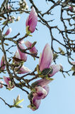 Pink magnolia branch flower, close up, isolated, blue sky background Royalty Free Stock Images