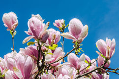 Pink magnolia branch flower, close up, isolated, blue sky background Royalty Free Stock Photos