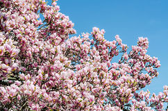 Pink magnolia branch flower, close up, isolated, blue sky background Stock Photography