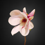 Pink Magnolia branch flowers, close up, floral arrangement, isolated Stock Images