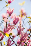 Pink Magnolia branches on the blue sky background Stock Images
