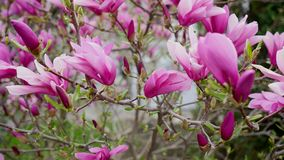 Pink magnolia bud, flowers of the pink magnolia, pink magnolia, pink Magnolia flowers on tree branch.  stock video footage