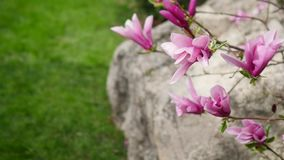 Pink magnolia bud, flowers of the pink magnolia, pink magnolia, pink Magnolia flowers on tree branch.  stock footage