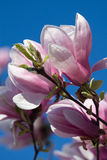 Pink magnolia flower Stock Photo