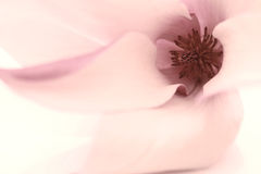 Pink Magnolia flower royalty free stock photos
