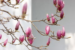 Pink magnolia flower blossoming on the branch Royalty Free Stock Image
