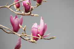 Pink magnolia flower blossoming on the branch. Pure white flower blossoming on the branch royalty free stock image