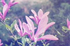 Pink magnolia flower. Blossoming pink magnolia flower in spring time Royalty Free Stock Photos